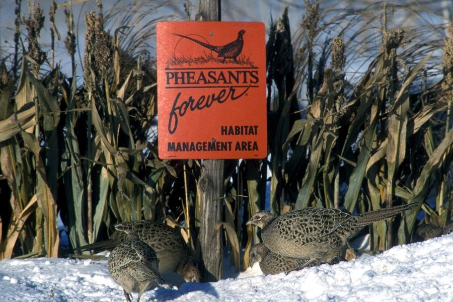 Winter-Cover-for-pheasants