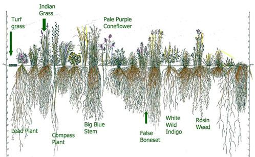 Root System Native Plants